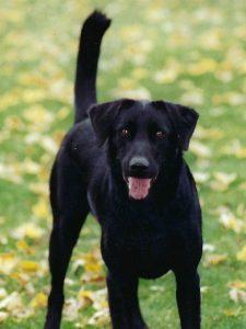 blacklab1 225x300 - Glucosamine For Dogs