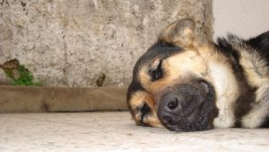dogarthritis 300x169 - What Causes Arthritis In Dogs